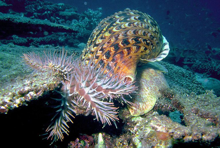 Researchers have discovered a chemical compound produced by the giant Triton snail (Charoniatritonis), that repels the Crown-of-thorns starfish (Acanthaster planci) and could help protect the Great Barrier Reef. Photo credit: Dr. Scott Cummins.