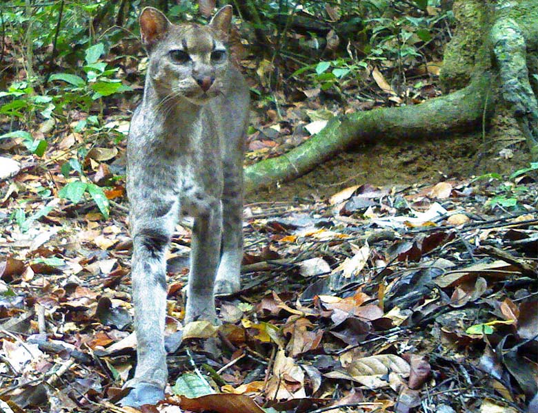 A golden cat, caught in a rare close up by a camera trap in Ivindo National Park, Gabon. The elusive species is one of the least-studied felines in the world. Photo credit: Laila Bahaa-el-din/ Panthera