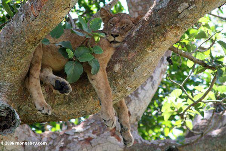 Sleeping tree lion in Queen Elizabeth National Park (Safari Park), East Africa Uganda. Photo by Rhett Butler.