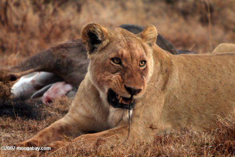 Female lion with wildebeest kill in Ngorongoro Crater, Tanzania (East Africa). Photo by Rhett Butler.