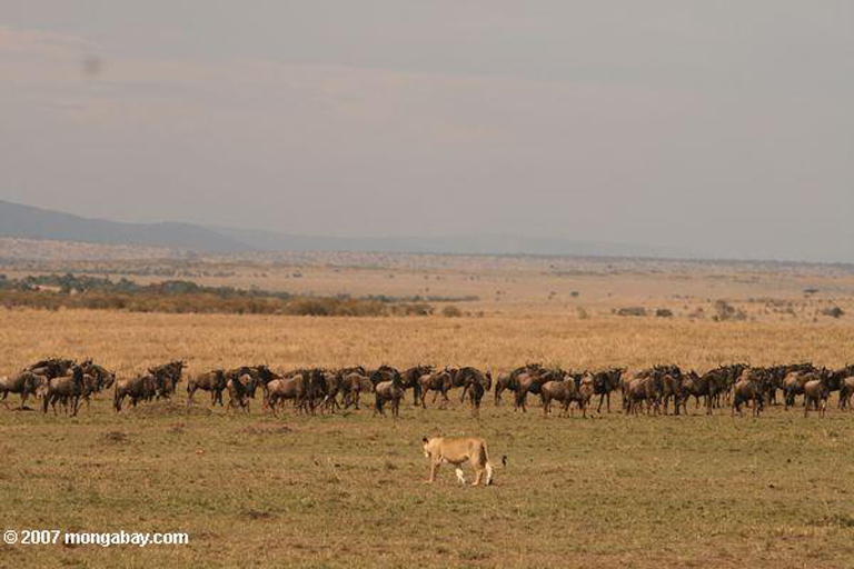 Lion approaching a wildebeest herd in Maasai Mara, Kenya (East Africa). Photo by Rhett Butler.
