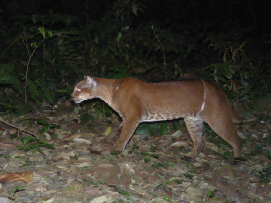 African golden cat with a snare wound around its lower stomach. Many cats are not so lucky to escape. Photo credit: David Mills/ Panthera