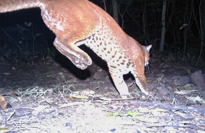 Golden cat leaping past a camera trap, showing off its decorative underbelly. Photo credit: David Mills / Panthera