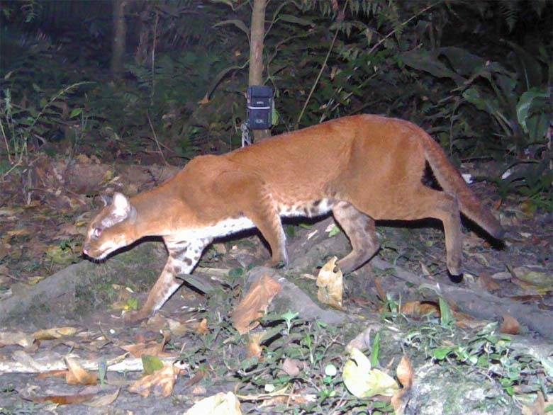 Small and powerful, the golden cat primarily hunts rodents on the forest floor. Photo credit: David Mills/ Panthera