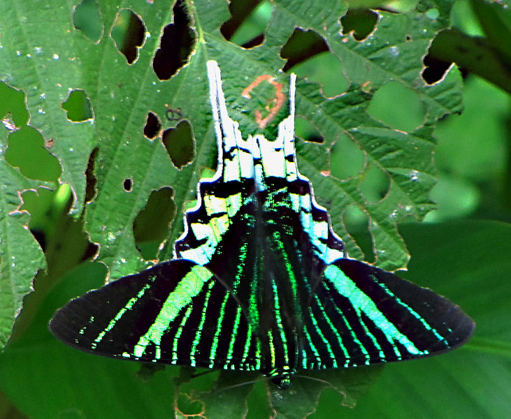 A Green-banded Urania (Urania leilus), one of the 1,000 butterfly species inhabiting Tambopata National Reserve, Peru. Photo credit: D. Gordon E. Robertson; This file is licensed under the Creative Commons Attribution-Share Alike 3.0 Unported license.