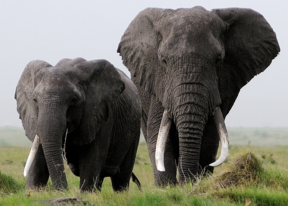 African elephants in Kenya. Photo by: Carl Safina.