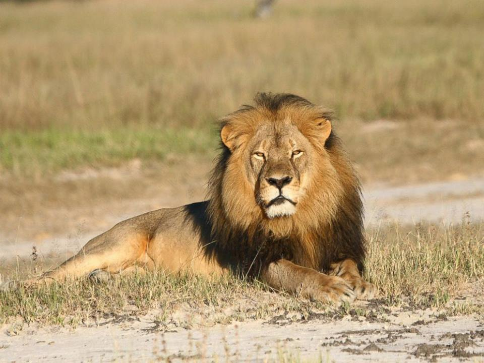 Cecil the lion in Zimbabwe. Photo courtesy of WildCRU.