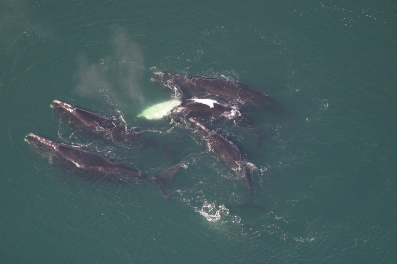 A group of juvenile North Atlantic right whales socializes off the Florida coast. Photo credit: Florida Fish and Wildlife Conservation Commission, NOAA Research Permit # 665-1652.