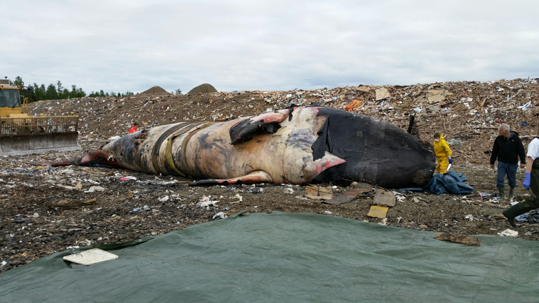 Scientists prepare to necropsy Piper's carcass at a landfill inland from Newport, Quebec. A preliminary necropsy report did not identify a cause of death. Photo credit: Jean Francois Blouin, Canadian Whale Institute.