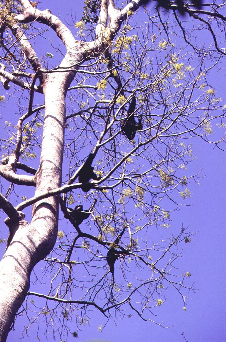 Saimangs on the move in the Sumatran treetops. Photo credit: Wildlife Conservation Society-Indonesian Program.