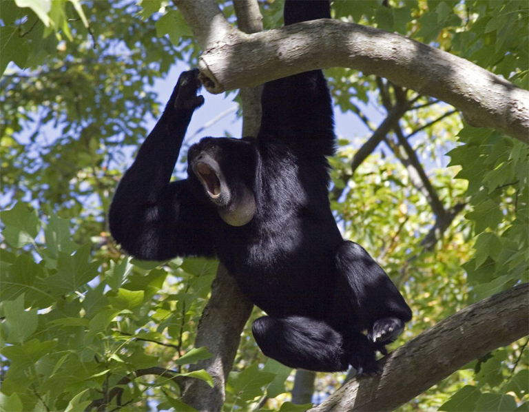 How, one wonders, can such a tremendously vocal, charismatic ape be almost utterly ignored by conservationists? Photo Credit: Kevin Schofield, Creative Commons Attribution 2.0 Generic license.