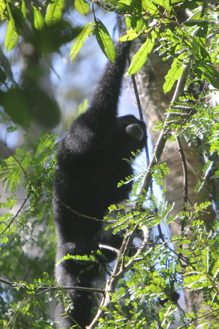 A male siamang moves amid the foliage with its lean, long, super-strong arms. The great gibbon, and lesser ape, is known for its extraordinary acrobatic abilities. Photo credit: Tiffany Roufs.