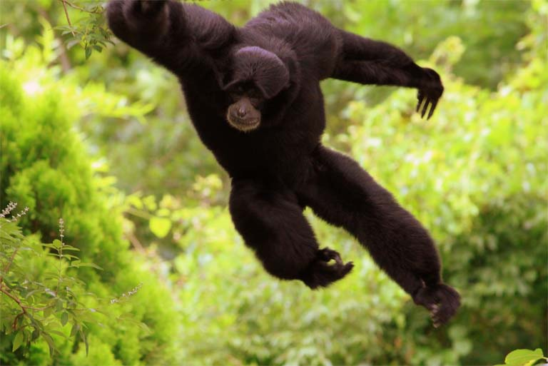 Siamangs spend most of their lives high in the canopy, swinging from treetop to treetop. Photo credit: Brent Moore, Creative Commons Attribution 2.0 Generic license.
