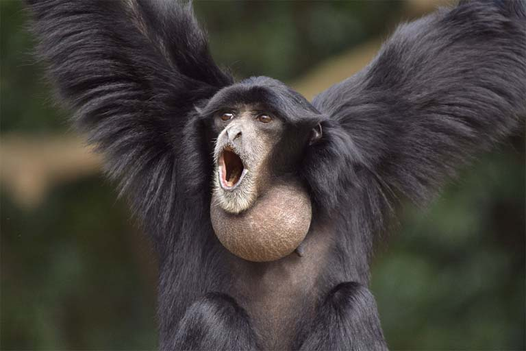 The siamang is the only gibbon to sport an inflating throat sac – called a gular – similar to that of a frigatebird, sage grouse or frog, which amplifies its singing. Photo credit: Chiba Zoo, Japan, Creative Commons Attribution 2.0 Generic license.
