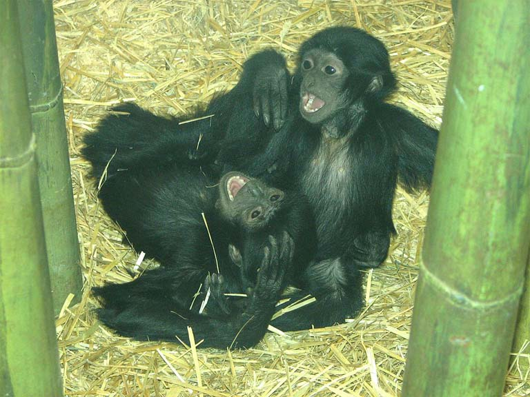 Siamangs are the only gibbon species in which males are heavily involved in infant care. These orphaned baby siamangs were photographed in the Louisville Zoo. Photo credit: Ltshears, Creative Commons Attribution 2.0 Generic license.