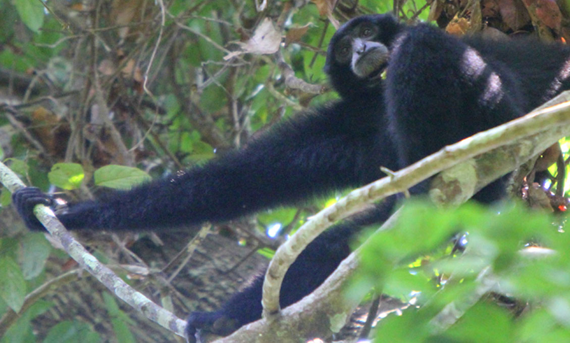 "The steely gaze of a male siamang in Sumatra, telling the author, that ""Yes, I see you, intruders – and I'm not afraid."" Photo credit: Tiffany Roufs."