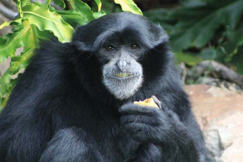 a study on the siamang a creature in indonesia thailand and malaysia The siamang (symphalangus syndactylus) is an arboreal black-furred gibbon native to the forests of malaysia , thailand , and sumatra indonesia and malaysia.