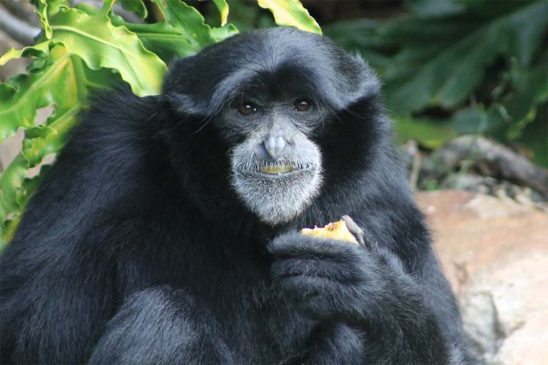 Rarely caught on the ground in the wild, this zoo-kept siamang enjoys a favorite fruit. Siamangs are prodigious seed dispersers, assuring their preferred fruit trees are widespread – a strategy that benefits the great gibbon and rainforest biodiversity. Photo credit: Greg Scales, Creative Commons Attribution 2.0 Generic license.