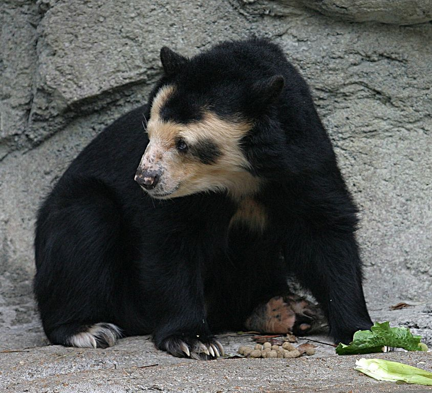A Spectacled Bear (Tremarctos ornatus) at the Houston Zoo. PHOTO BY Cburnett  licensed under the Creative Commons Attribution-Share Alike 3.0 Unported license.