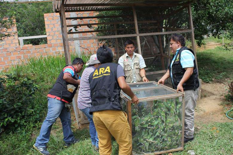 More than 650 parakeets confiscated by the Police of Pedro Ruíz, Amazonas. The trafficker was arrested and the parakeets were taken to the Chuyachaqui rescue center. There were many mortalities after confiscation due to the abysmal storage conditions. Photo courtesy of Neotropical Primate Conservation