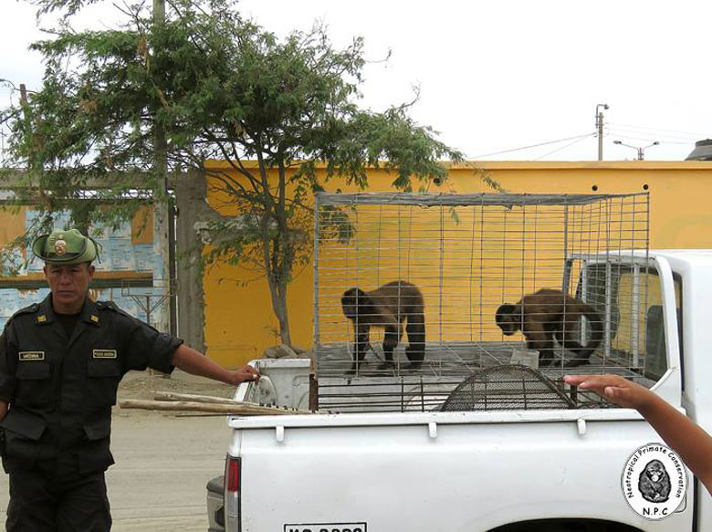 Brown capuchins (Cebus apella) rescued from a circus in Trujillo thanks to a successful intervention led by the environmental authorities and the police, with the help of a representative from the NPC. Photo courtesy of Neotropical Primate Conservation