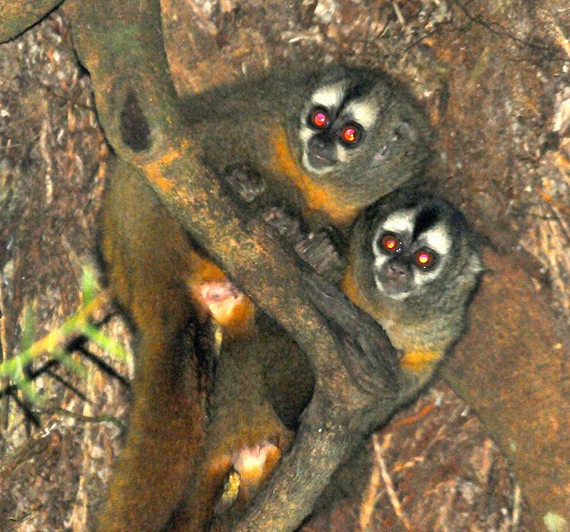 An Andean Night Monkey (Aotus miconax). Animals like this one are commonly kept in private homes in Peru as pets, though it is illegal to do so. Photo by Platyrrhinus licensed under the Creative Commons Attribution-Share Alike 3.0 Unported license.
