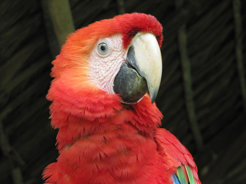 A scarlet macaw, one of many tropical bird species popular with illegal traffickers. Photo by Barry Rogge icensed under the Creative Commons Attribution 2.0 Generic license.