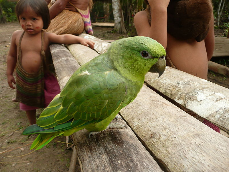 Peruvian Indians with a Short-tailed Parrot (Graydidascalus brachyurus). The rural people of Peru have long kept animals in their homes as pets, a habit that has been transferred to urban areas. Photo by Shea Hazarian licensed under the Creative Commons Attribution 2.0 Generic license.