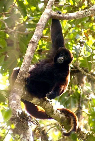 The Shanees came to Peru to help protect endangered yellow-tailed woolly monkeys (Oreonax flavicauda) like this one. They quickly learned that the animals were threatened by illegal wildlife traffickers. Photo by Platyrrhinus licensed under the Creative Commons Attribution-Share Alike 3.0 Unported license.
