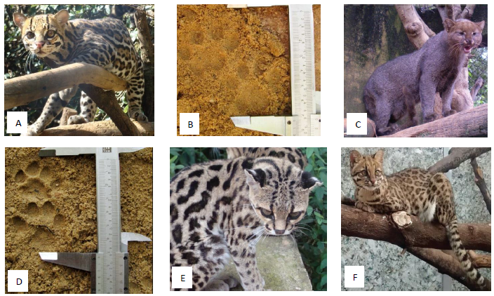 Wild felid species tested in the present study and some examples of footprints printed in sand. A - Ocelot (Leopardus pardalis); B – Ocelot footprint; C – Jaguarundi (Puma yagouaroundi); D – Jaguarundi footprint; E – Margay (Leopardus wiedii); F – Oncilla (Leopardus guttulus) (Photos: William D. Carvalho). Image from de Carvalho et al, 2015
