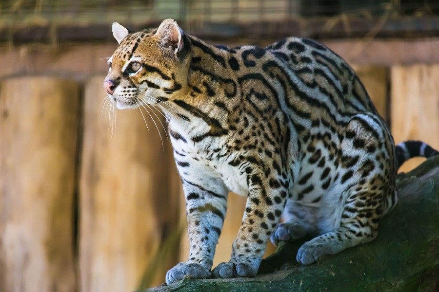 An ocelot (Leopardus pardalis) in Itatiba Zoo, Brazil. Photo by João Carlos Medau from Wikimedia Commons.