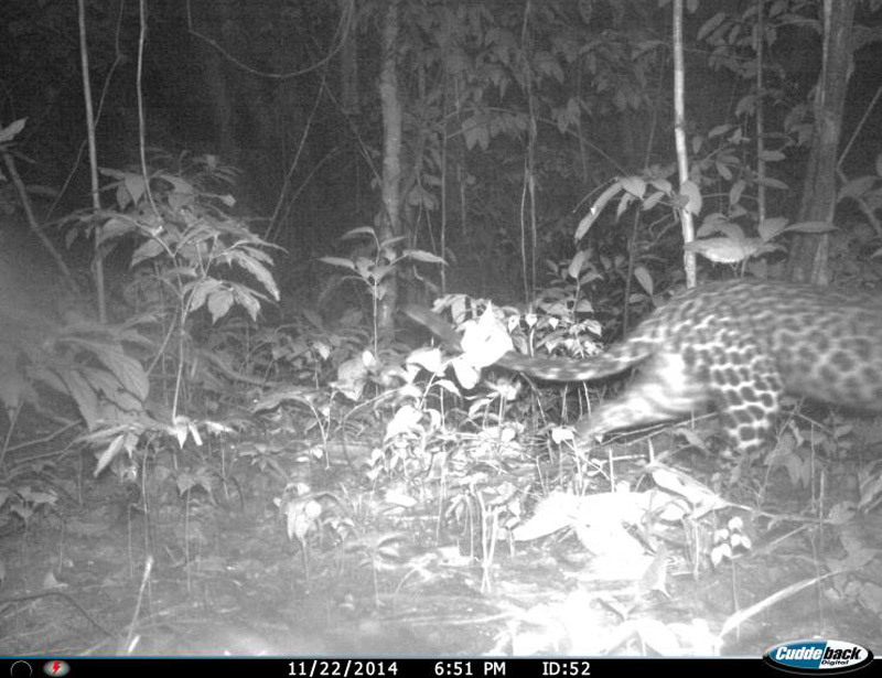 Camera trap photo of possible female spotted leopard. Photo courtesy of Cedric Tan Kai Wei.