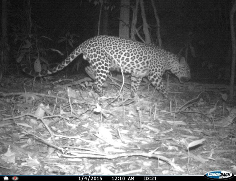 Camera trap photo of possible male spotted leopard. Photo courtesy of Cedric Tan Kai Wei.