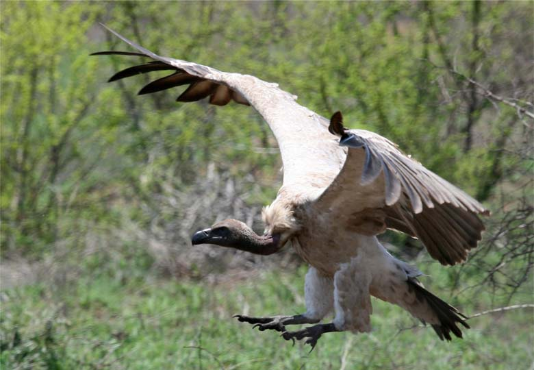 A White backed vulture comes in for a landing. Photo by Nick Dean courtesy of The Peregrine Fund