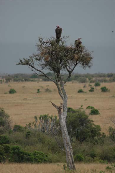 Lappet-faced vultures watch from above. Photo by Munir Virani courtesy of The Peregrine Fund