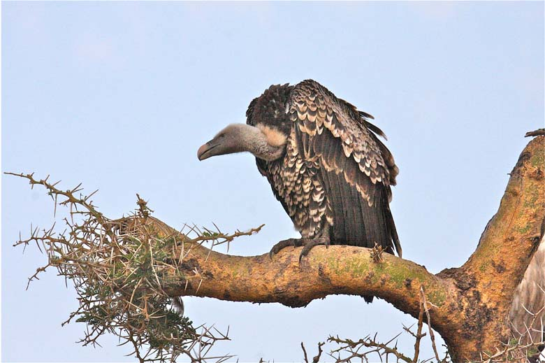 Ruppell's Griffon Vulture. Photo by Craig R. Sholley African Wildlife Federation