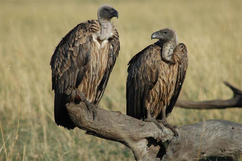 White backed vultures. Photo by Munir Virani courtesy of The Peregrine Fund