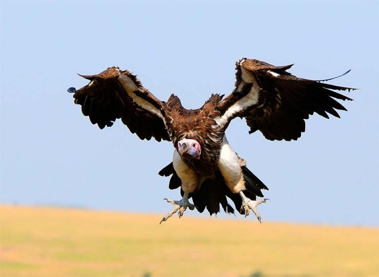 Lappet-faced vulture making a landing. Photo by Munir Virani courtesy of The Peregrine Fund.