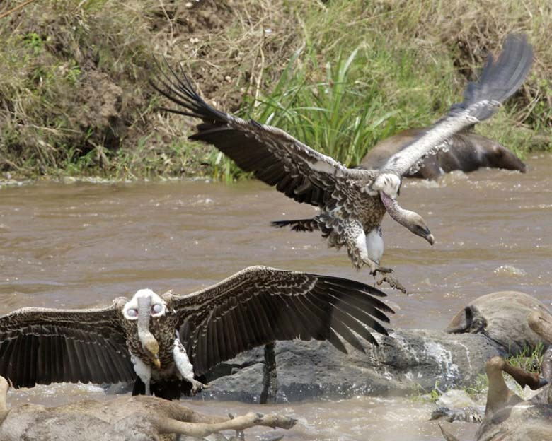 Rüppell's Vulture (Gyps rueppellii). Casualties litter the banks downriver after Blue Wilderbeast (Connochaetes taurinus) crossing. The vultures weren't able to work on the victims, as their beaks and claws were not strong enough to tear through the skin. They had to wait for the crocodiles to tear the carcass open before feasting. Photo by Lip Kee Yap licensed under the Creative Commons Attribution-Share Alike 2.0 Generic license.