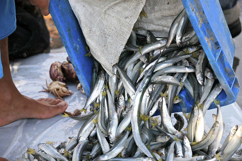 Peru's regulated fishing fleet produces more than 6 million tons of fish for the world market annually, while the illegal artisanal fleet produce another estimated 1.2 million tons. Photo by Alex Proimos licensed under the Creative Commons Attribution 2.0 Generic license