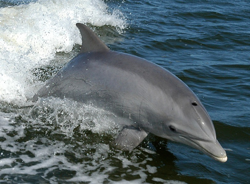 Common bottlenose dolphins get caught in fishing nets. Photo from Wikimedia Commons.