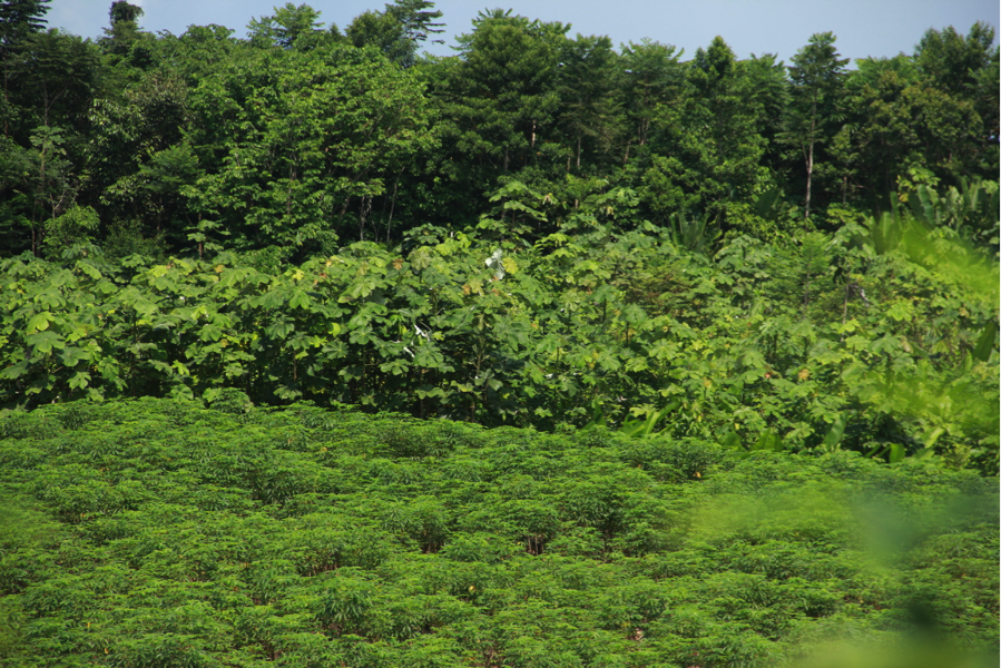 A patch of land that is a part of a slash and burn system, currently being farmed for multiple types of useful fruits and vegetables. Photo by Catarina Jakovac.