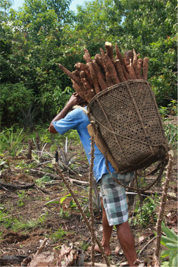 A farmer carrying a basket of cassava, one of the most common and profitable crops farmed in swidden agricultural systems of the Brazilian Amazon. Photo by Catarina Jakovac.