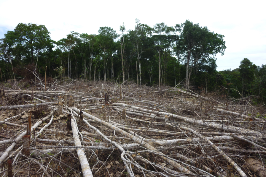 A patch of land used for swidden agriculture in the Brazilian Amazon shown prior to burning, which will clear the land and allow room for agricultural practices. Photo by Catarina Jakovac.