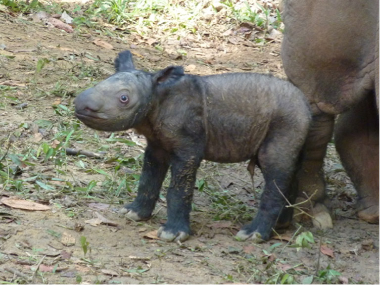 Andatu, the first Sumatran rhino born at the Sumatran Rhino Sanctuary, takes tentative first steps on his first day of life in 2012. Andatu is Ratu's first child. Ratu is currently pregnant with her second calf — due in May 2016 — and the new calf will resemble its older brother. Photo courtesy of the International Rhino Foundation.