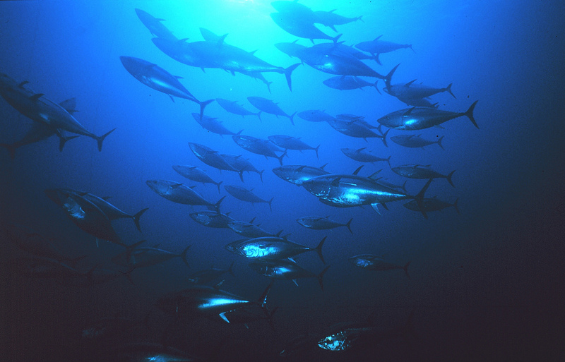 Schooling bluefin tuna. Photo by United Nations Food and Agriculture Organization/ Danilo Cedrone.