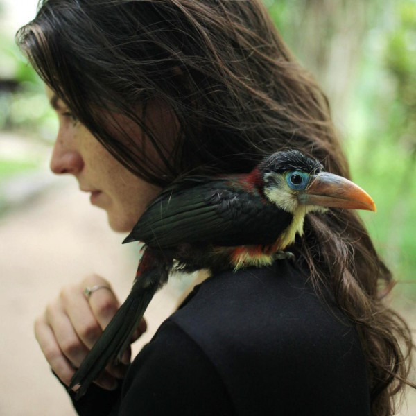 A curl-crested aracari (Pteroglossus beauharnaesii) rests on Dablin's shoulder after being found on a trail and brought back to researchers staying in Soledad Lake, Madre de Dios, Peru. Photo by Dr. Amanda Havard.