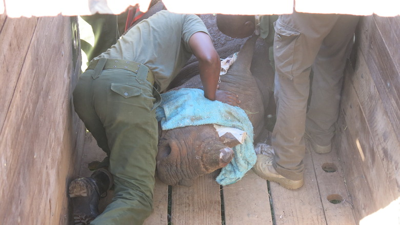 After being put to sleep, a reversal drug carefully prepared and administered. Photo courtesy of Lewa Wildlife Conservancy.