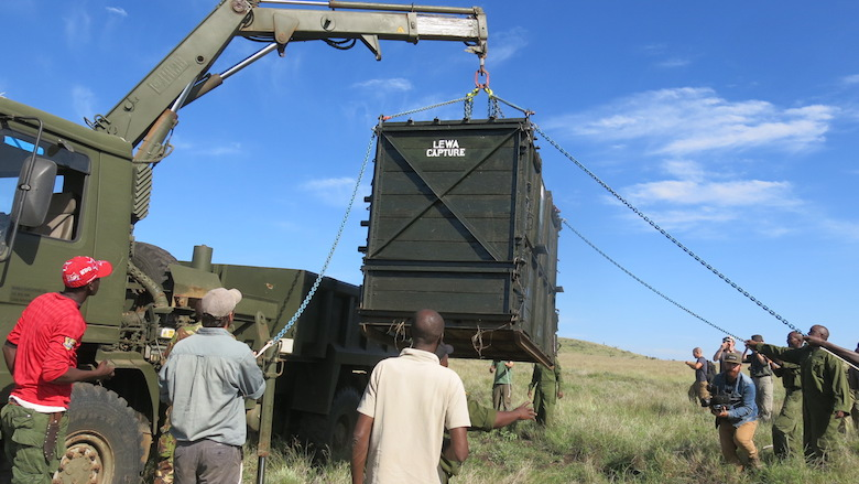 Another look at rhino translocation. Photo courtesy of Lewa Wildlife Conservancy.
