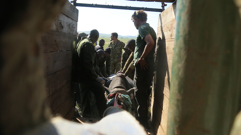 A black rhino is placed in a large crate to prepare for transport to Sera Community Conservancy. Photo courtesy of Lewa Wildlife Conservancy.